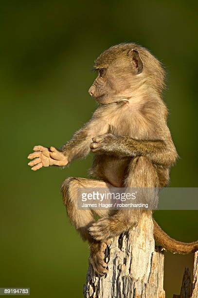 juvenile olive baboon papio cynocephalus anubis sitting on stump and scratching, samburu game reserve, kenya, east africa, africa - eastern african tribal culture stock photos and pictures