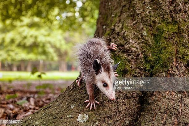 juvenile opossum at base of tree - opossum foto e immagini stock