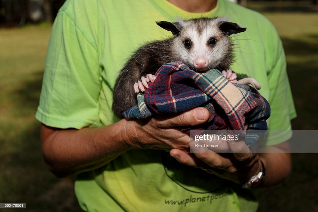 Juvenile Opossum held by a woman : Stock Photo