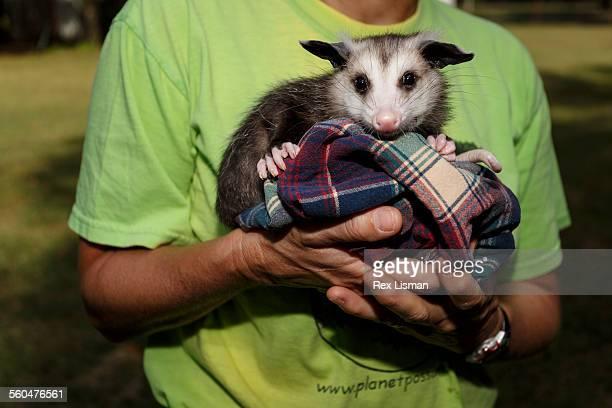 juvenile opossum held by a woman - opossum americano foto e immagini stock