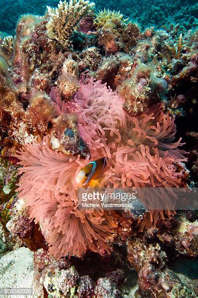 juvenile orange-fin anemonefish (amphiprion chrysopterus) hiding in anemone, palau, micronesia. - orange fin clownfish stock photos and pictures