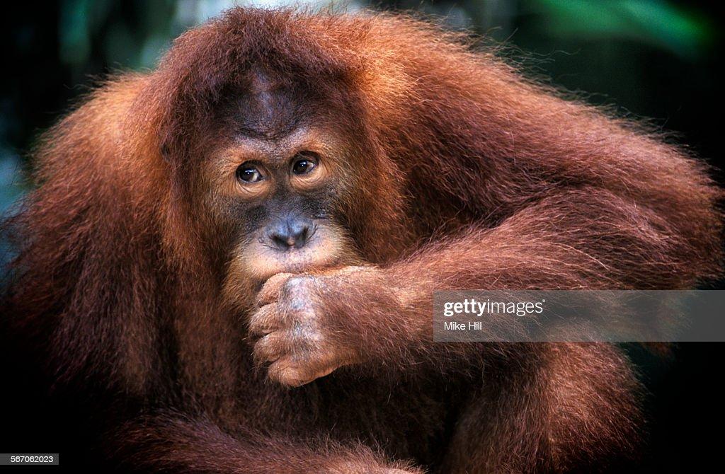 Juvenile orangutan (Pongo pygmaeus), Gunung Leuser National Park, Sumatra.