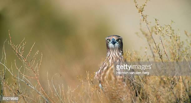 juvenile pale chanting goshawk (melierax canorus) - portrait - goshawk stock photos and pictures
