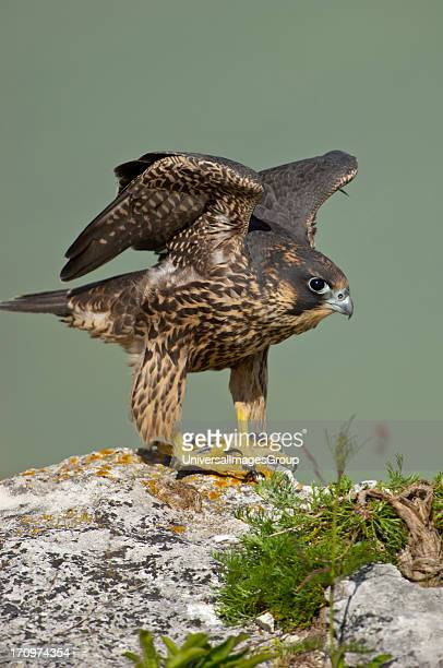 Juvenile Peregrine Falcon Falco Peregrinus bird training Stevns Klint Denmark
