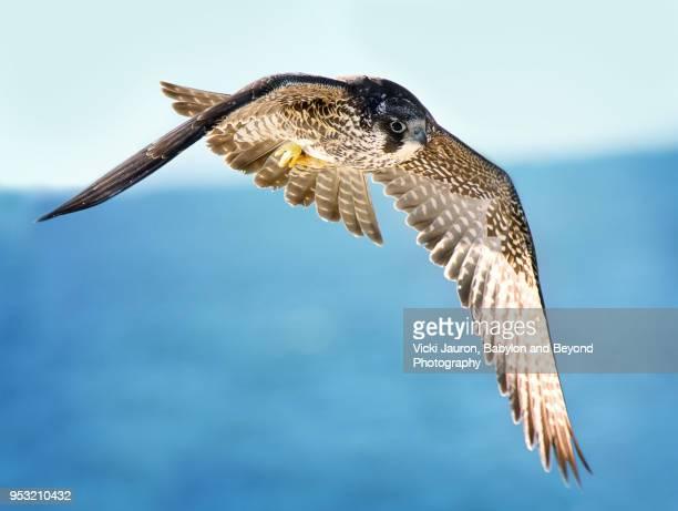 juvenile peregrine falcon flying over water - raubvogel stock-fotos und bilder
