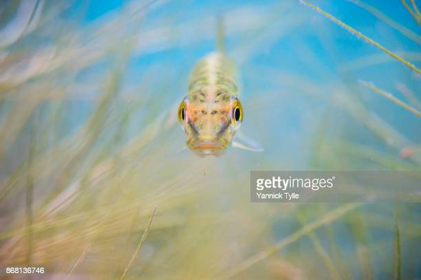juvenile pike fish underwater in schladitzer see - northern pike stock photos and pictures