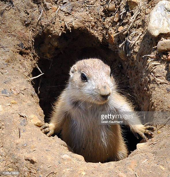 Juvenile Prairie Dog in Burrow