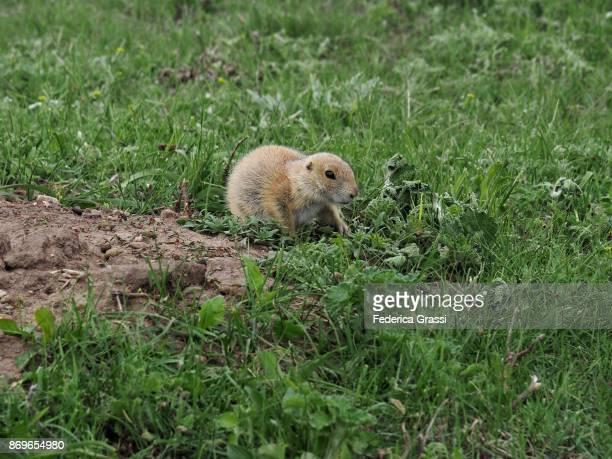 Juvenile Prairie Dog Playing Outside Its Burrow