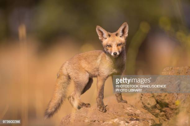 juvenile red fox - photostock stock pictures, royalty-free photos & images