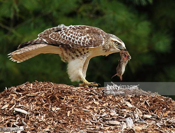 juvenile red-tailed hawk with vole - red tailed hawk stock photos and pictures