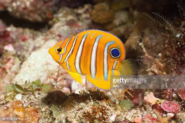 Juvenile Regal Angelfish Pygoplites diacanthus Bunaken Island, North Sulawesi, Indonesia