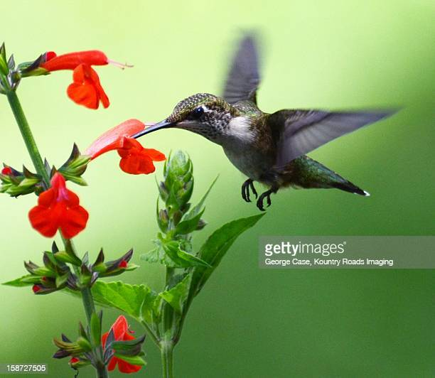 juvenile ruby throated hummingbird - natur stock pictures, royalty-free photos & images