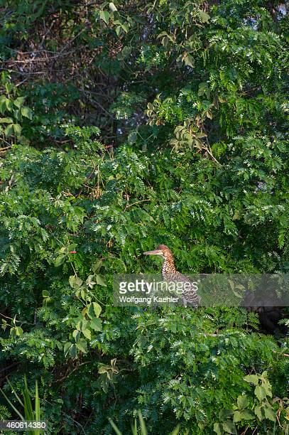 Juvenile Rufescent tiger heron in a tree along a tributary of the Cuiaba River near Porto Jofre in the northern Pantanal, Mato Grosso province in...