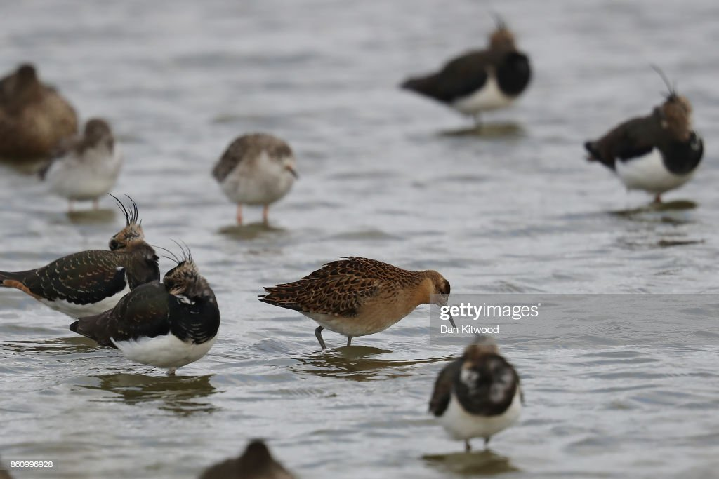 A juvenile Ruff (centre) feeds on a pond at the Kent Wildlife Trust's Oare Marshes in the Thames Estuary on October 13, 2017 in Faversham, England.