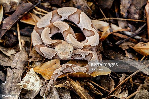 juvenile southern copperhead on forest floor - copperhead snake stock pictures, royalty-free photos & images