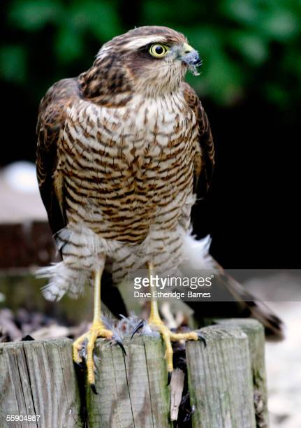 A juvenile Sparrow Hawk is seen having just fed on 18 September 2005 in a suburban garden in Burgess Hill England The Sparrow Hawk has a wide...