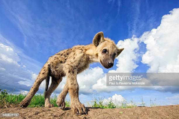 juvenile spotted hyena walking - hyena stock pictures, royalty-free photos & images
