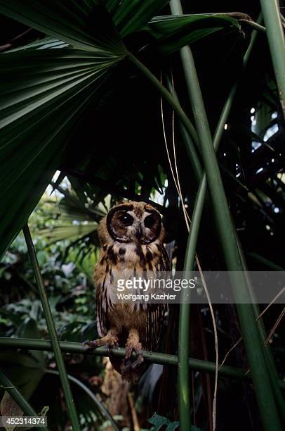 A juvenile Striped owl in the Amazon Basin of Ecuadorian rainforest along the Rio Napo Ecuador