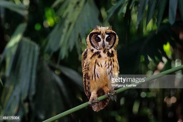 A juvenile Striped owl in theAmazon Basin of Ecuadorian rainforest along the Rio Napo Ecuador