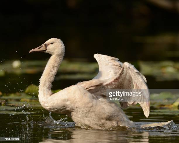 juvenile swan on fox river, wisconsin, usa - iron_county,_wisconsin stock pictures, royalty-free photos & images