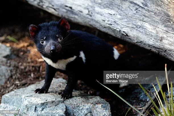 A juvenile Tasmanian Devil roams around its enclosure at the opening of a new exhibit and breeding centre at Taronga Zoo on June 30 2010 in Sydney...