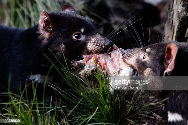 Juvenile Tasmanian Devil's feed on some meat at the opening of a new exhibit and breeding centre at Taronga Zoo on June 30 2010 in Sydney Australia...