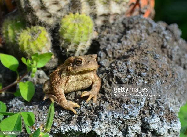 Juvenile toad portrait on volcanic rocks with cactus