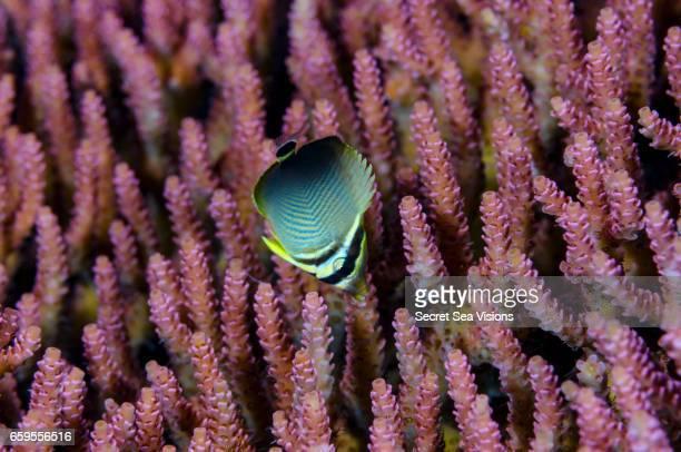 Juvenile Triangular Butterflyfish