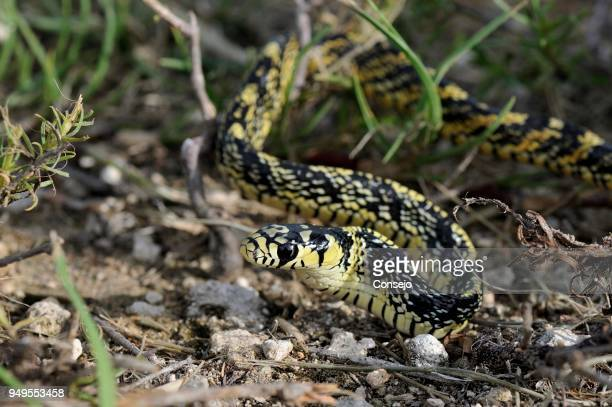 juvenile tropical chicken snake (spilotes pullatus), corozal district, belize - chicken snake stock pictures, royalty-free photos & images