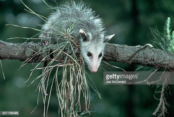 juvenile virginia opossum in pine tree - opossum foto e immagini stock