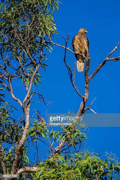 Juvenile Whistling Kite