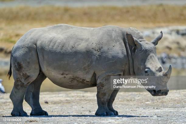 juvenile white rhinoceros along the shore of lake nakuru, lake nakuru national park, kenya east africa - kenya stock pictures, royalty-free photos & images