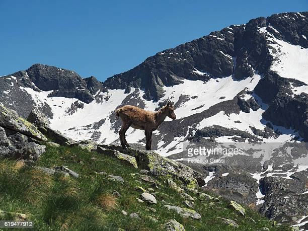 Juvenile Wild Ibex Mountain Goat In The Pennine Alps