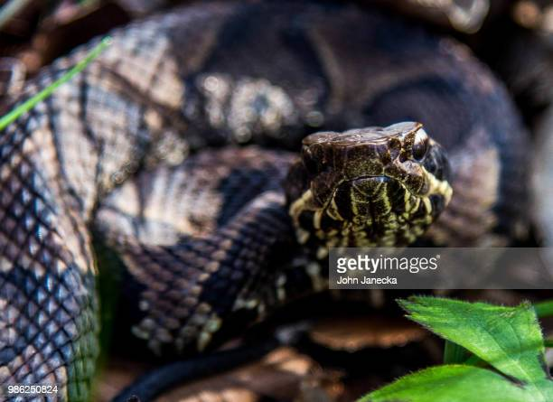 juvenille cottonmouth - cottonmouth snake stock pictures, royalty-free photos & images
