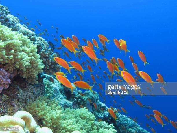 Juwelen-Fahnenbarsche , Korallenriff, St. Johns Riff, Rotes Meer, Aegypten