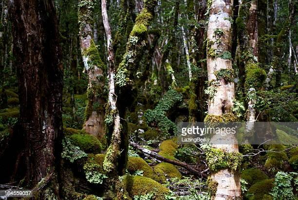 Parc National de Kahurangi Flora (Nothofagus menziesii)