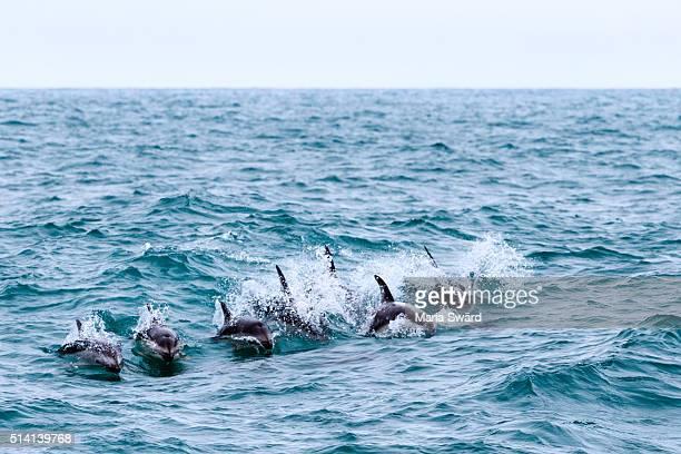 Kaikoura - Group of Dusky Dolphins