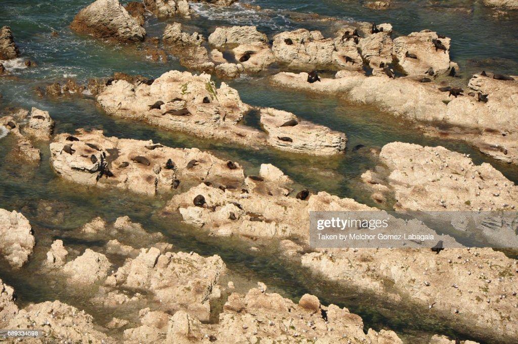 Kaikoura Seal Colony : Stock Photo