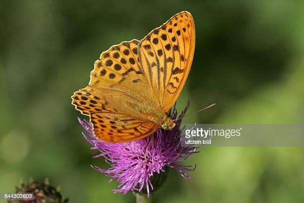 Kaisermantel auf Blüte einer Flockenblume Männchen