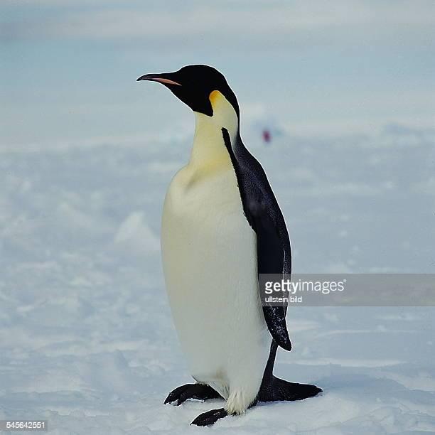 Kaiserpinguin in der Antarktis oJ
