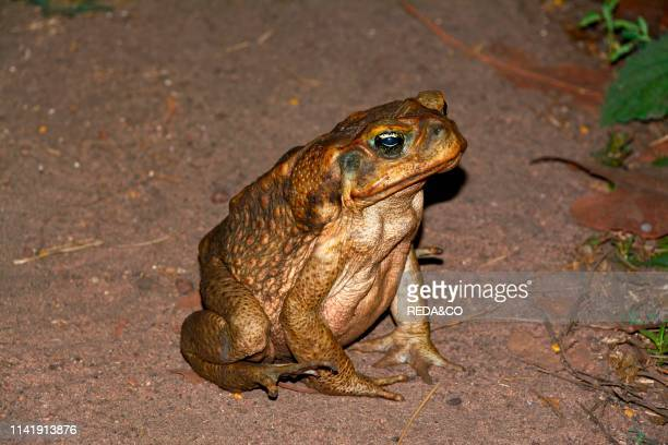 Kakadu National Park Bufo marinus Cane Toad NorthernTerritory Australia