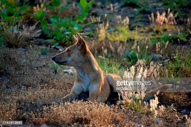Kakadu National Park Dingo Canis lupus dingo NorthernTerritory Australia