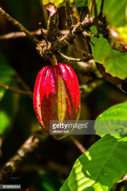 Kakao Kakaobaum Theobroma cacao Jardin du Roi ein Garten voller Blueten Fruechte Gewuerz und Medizinpflanzen Mahè Seychellen