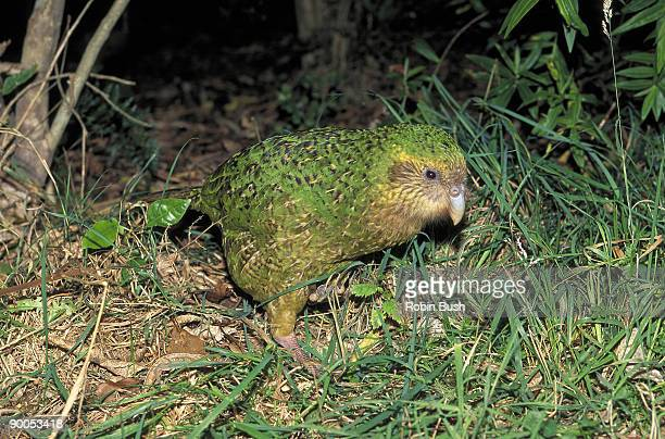 kakapo strigops habroptilus endemic. new zealand