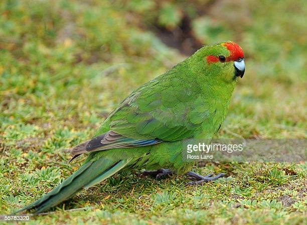Kakariki feeds on seeds on Enderby Island in the subantarctic Auckland Islands group situated 476 kilometres from the southern tip of New Zealands...
