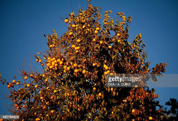 Kaki Ebenaceae