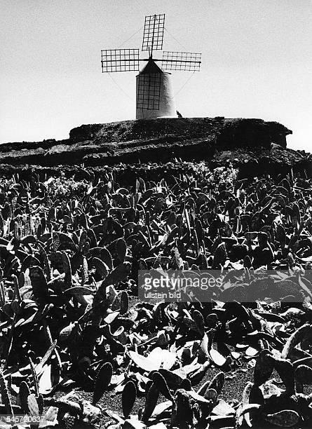 Kakteenfeld vor einer Windmühle- 1982