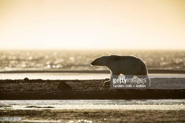 kaktovik, alaska: polar bears in arctic national wildlife refuge. - parco nazionale foto e immagini stock