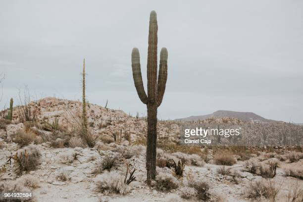 kaktuslandschaft in mexiko - wild west stock pictures, royalty-free photos & images