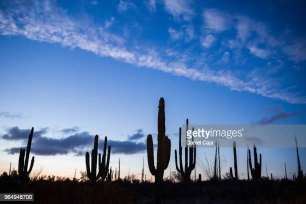 kaktuslandschaft in mexiko - baja california peninsula stock pictures, royalty-free photos & images
